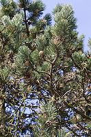 Hakenkiefer, Haken-Kiefer, Spirke, Aufrechte Bergkiefer, Berg-Spirke, Bergspirke, Pinus uncinata, Pinus mugo uncinata, Pinus mugo rostrata, mountain pine