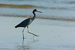 Little Blue Heron Strutting Sanibel Island Florida