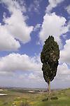 Israel, Southern Coastal Plain, Cypress tree (Cupressus sempervirens) at Tel Gezer