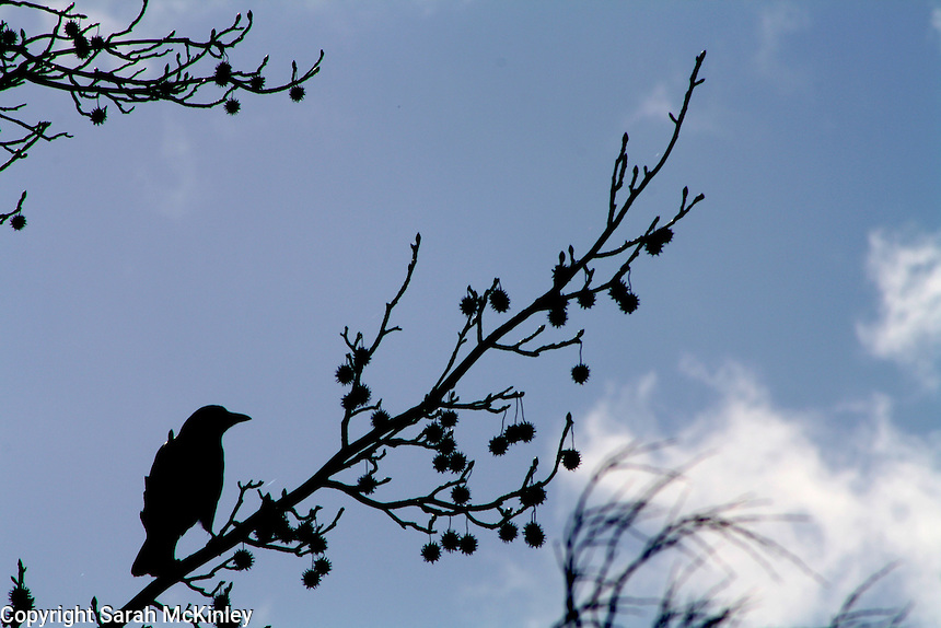 A crow perched in a sweetgum tree near Lake Mendocino outside Ukiah in Mendocino County in Northern California.