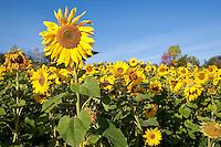 Sonnenblume, Sonnenblumen, Anbau auf Feld, Sonnenblumen-Feld, Helianthus annuus, Common Sunflower