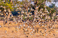 africa, Zambia, South Luangwa National Park,  flock of Qulea