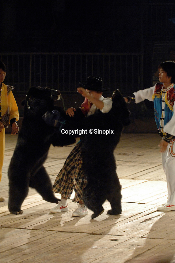 Asian brown bears, Hui Hui, wearing red gloves and Bei Bei knock the referee over during a bizarre bear boxing spectacle held twice daily at a Chinese wildlife park that describes itself as a bear sanctuary in Guanxi Province, China. The arena is packed full of school children during the morning bout. ..SINOPIX PHOTO