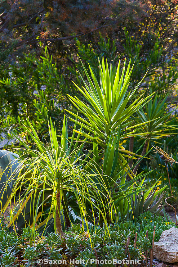 Beaucarnea recurvata, Ponytail Palm with Aloe aloifolia Spanish Dagger in morning light with Aeoniums in Debra Lee Baldwin garden