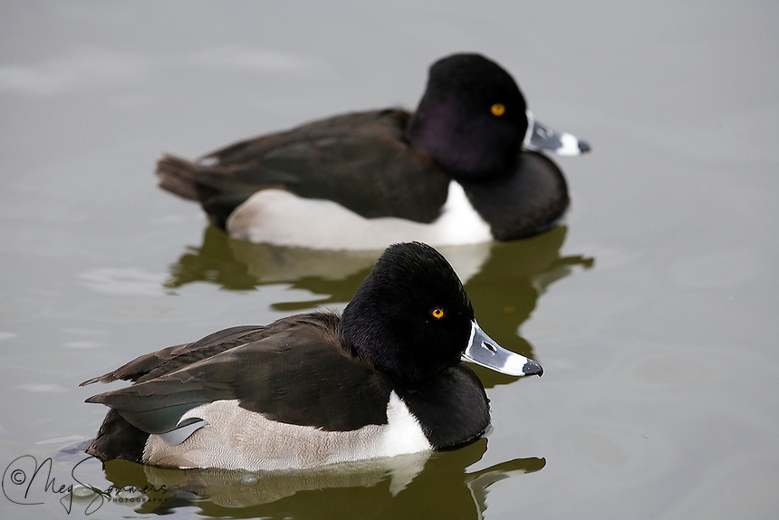 The Ring-necked Duck (Aythya collaris) is a smaller diving duck. These birds feed mainly by diving. They eat aquatic plants as well as some molluscs, aquatic insects and small fish. Socorro, New Mexico.