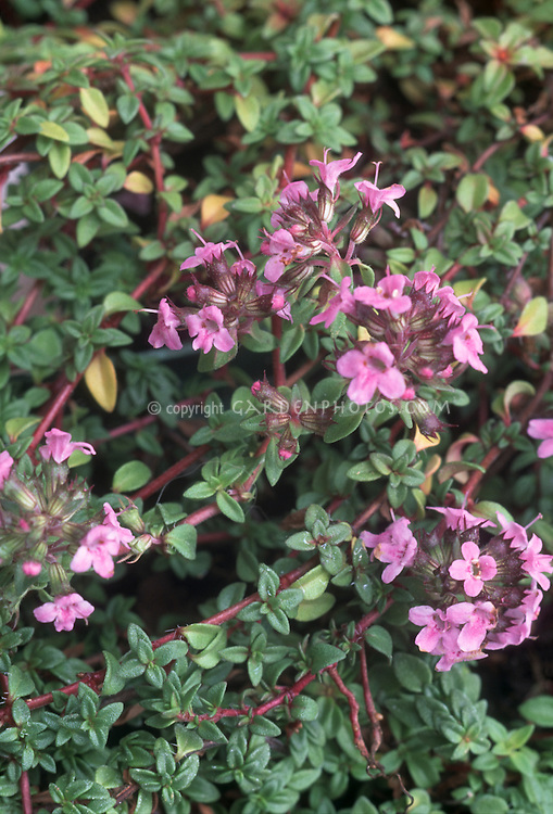 Thymus coccineus 'Major' pink flowering herb thyme in bloom aka Thymus serpyllum Major