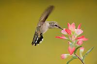 Ruby-throated Hummingbird (Archilochus colubris), female feeding on Texas Paintbrush (Castilleja indivisa), Fennessey Ranch, Refugio, Coastal Bend, Texas Coast, USA