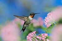 Ruby-throated Hummingbird (Archilochus colubris), male in flight feeding onPentas flower, Hill Country, Central Texas, USA