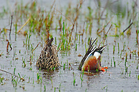 Northern Shoveler (Anas clypeata) pair dappling for food in shallow pond.  Pacific Northwest.