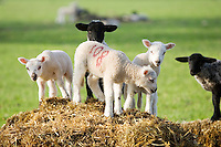 Lambs in Stanway, Gloucestershire, United Kingdom