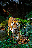 Sumatran Tiger (Panthera tigris sumatrae) walking in tropical rainforest.