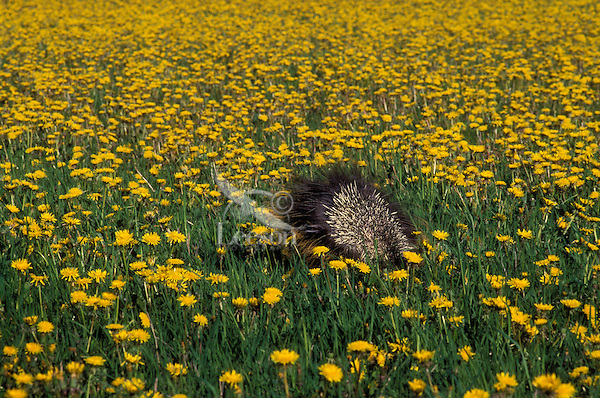 PORCUPINE displaying quills after being spotted crossing dandelion meadow..Summer. Rocky Mountains..(Erethizon dorsatum).