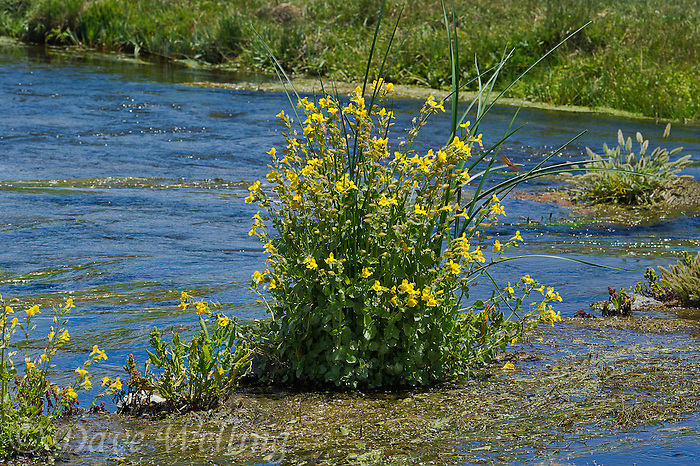 156010013 a wild common monkeyflower plant mimulus guttatus grows on a small island in a stream near bentons crossing in mono county california