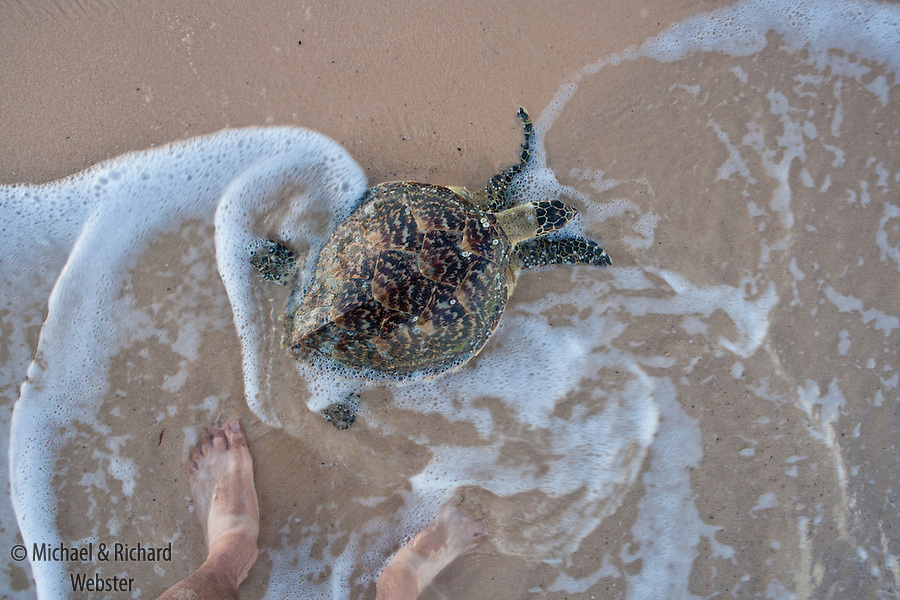 A Hawksbill Turtle swims back out to sea. These rare creatures, though legally protected are unfortunately still sought after both for their meat and their beautifully patterned shell.