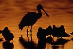 Spoonbill and shorebirds, Florida