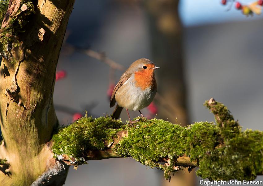 European robin (Erithacus rubecula), Leighton Moss RSPB reserve, Lancashire.