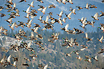 Mallard ducks in flight over the Kootenai National Wildlife Refuge