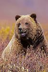 Brown bear or grizzly, Denali National Park, Alaska