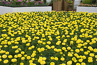 Marigolds, many yellow flowers in masses growing in garden