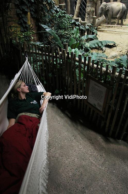 Foto: VidiPhoto..AMERSFOORT - Olifantenverzorgster Anne Planting wordt vrijdagmorgen wakker in het olifantenverblijf van Dierenpark Amersfoort. Omdat de Aziatische olifant Indra hoogzwanger is (nu 22 maanden) slapen vijf verzorgers per toerbuurt in een hangmat, in het binnenverblijf van de aanstaande dertienjarige moeder om haar goed in de gaten te kunnen houden. Van slapen komt 's nachts niet veel omdat Indra enorm snurkt en winden laat in haar slaap. Af en toe scharrelt er ook een muis rond. Het is drie jaar geleden dat Indra voor het laatst is bevallen. Belangstellenden kunnen het gedrag -en straks de bevalling- volgen via een webcam in het binnenverblijf. Aanmelden voor een sms-alert zodra de bevalling is begonnen, is ook mogelijk..