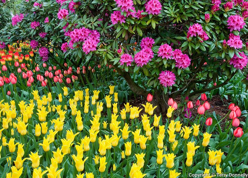 Skagit County, WA               <br /> Colorful tulips in a Skagit Valley garden