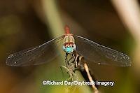 06652-006.16 Blue-faced Meadowhawk (Sympetrum ambiguum) male, Marion Co. IL