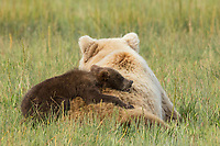 Mother Grizzly Bear makes a comfy pillow for her young sleepy cub, Alaska.