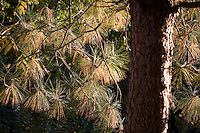 Long pine needles on Pinus yunnanensis (Yunnan pine; Chinese pine) tree backlit in autumn sun at Quarry Hill Botanical Garden