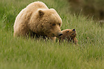 Brown bear mother and her cub, in a coastal meadow in Lake Clark NP, Alaska, June 24th 2008.  Photo by Gus Curtis.