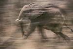 African elephant, Zimbabwe, Africa