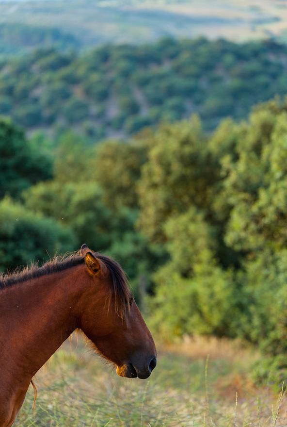 HORSE - CABALLO  (Equus ferus caballus), Campanarios de Azaba Biological Reserve, Salamanca, Castilla y Leon, Spain, Europe
