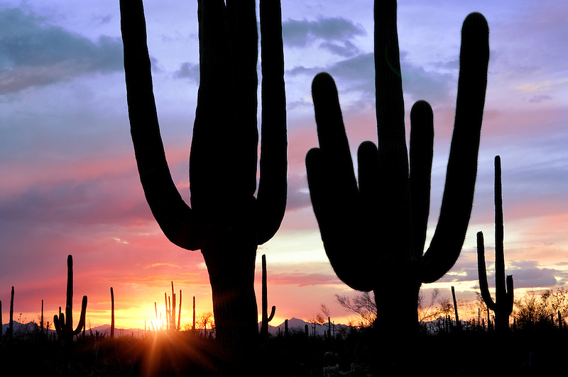 Sunset through saguaro cactus. Saguaro National Park. Azizona