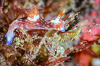 sea slug or nudibranch, Nembrotha sp., Lembeh Strait, North Sulawesi, Indonesia, Pacific
