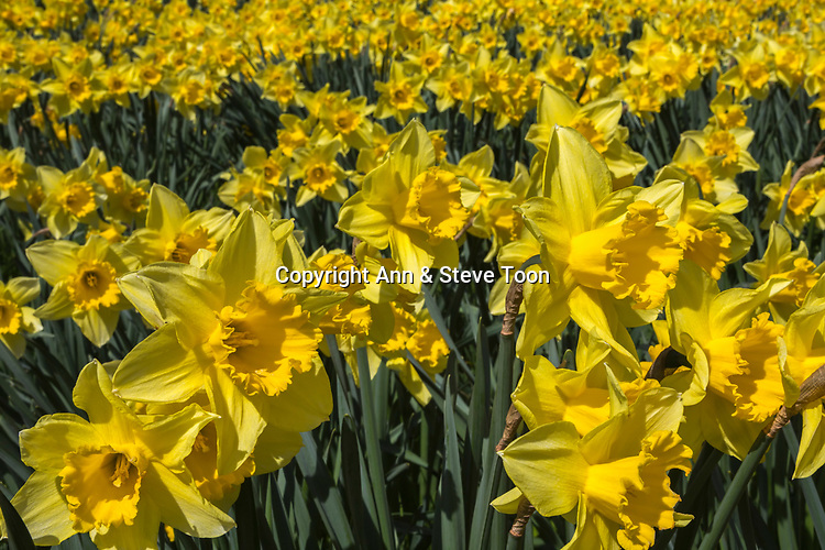 Daffodils in spring, Northumberland, UK, April 2017