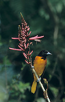 Baltimore Oriole, Icterus galbula,male feeding on Coral Bean Blossom(Erythrina herbacea), South Padre Island, Texas, USA, May 2005