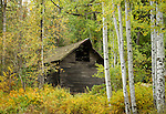 Idaho, North, Kootenai County, Kingston, Enaville. A barn hides in the autumn foliage.