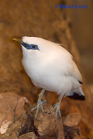 1113-0802  Bali Starling (Bali Mynah), Critically Endangered Bird, Leucopsar rothschildi © David Kuhn/Dwight Kuhn Photography