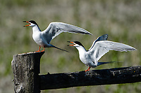 Forester's Terns calling, Oregon