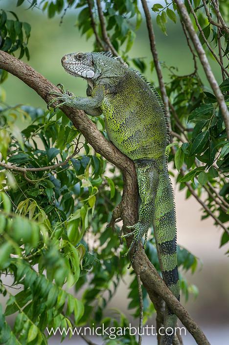 Male Green Iguana (Iguana iguana) basking in bush overhanging the Ariporo River in Hato La Aurora Reserve, Los Llanos, Colombia.