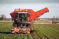 Lifting sugar beet in the Cambridgeshire Fens<br /> &copy;Tim Scrivener Photographer 07850 303986<br />      ....Covering Agriculture In The UK....