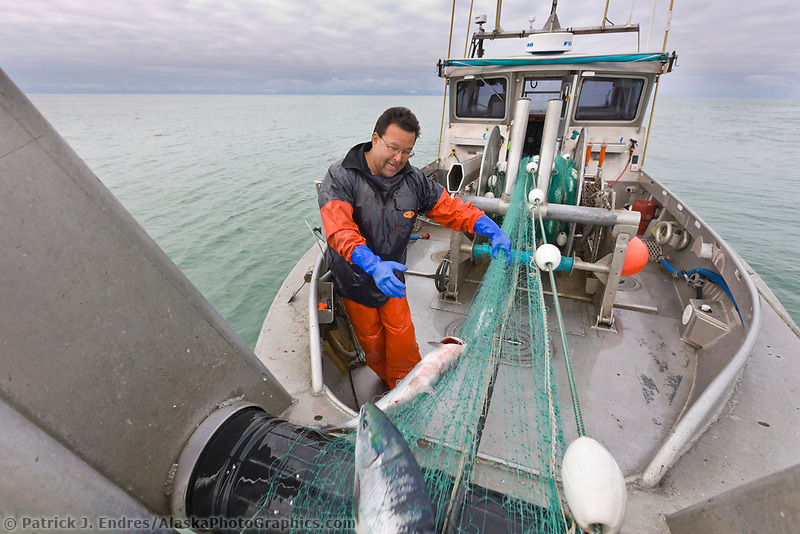 Commercial fisherman Bill Webber takes salmon out of the net as they come over the gill net bow roller during a 12 hour sockeye and king salmon opener on the Copper River Delta, southcentral, Alaska.