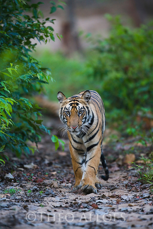 16 months old Bengal tiger cub (Panthera tigris) walking on trail in forest, dry season, April