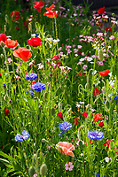 Deutschland, Bayern, Chiemgau: Blumenwiese | Germany, Bavaria, Chiemgau: flower meadow