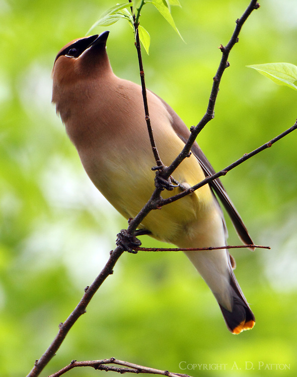 Cedar waxwing feeding on elm tree buds, part of a large flock. The mockingbirds tried to run them off without success.