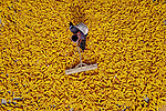 """Workers strip kernels from sweetcorn cobs before raking them out to dry in the sun. <br /> <br /> Abdul Momin pictured the workers in the village of Sherpur Upazila in Bangladesh while temperatures reach mid-thirties (degrees centigrade).<br /> <br /> He said, """"The workers are their from sunrise until sunset.  They flip the kernels every 30 minutes so that both side of the corn dry equally.""""<br /> <br /> """"They need eight to ten hours a day over the course of two to three days to fully dry each batch out fully.  The workers are only paid around £2.50 per day for all their hard work in the heat""""<br /> <br /> """"Due to the workers being very poor, they are having to continue to work even amidst national lockdown due to the coronavirus pandemic.""""<br /> <br /> Please byline: Abdul Momin/Solent News<br /> <br /> © Abdul Momin/Solent News & Photo Agency<br /> UK +44 (0) 2380 458800"""