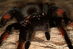 Tarantula Spider, Mexican Red Leg, Brachypelma emelia, on desert rock.Mexico....