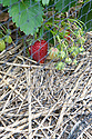 Strawberries growing on a mulch of straw to minimize slug damage and rain splash, and under nets to protect against birds.