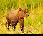 Alaskan Coastal Brown Bear Cub at Sunset, Silver Salmon Creek, Lake Clark National Park, Alaska