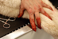 Lynda Vermillion holds down Wickit, owned by Sarah Tilton of Sanbornton, with hands bloodied from pulling porcupine quills out of his body. Because of the differences in human and dog blood, there is only a low risk of disease transmission and gloves are optional during most veterinary procedures..