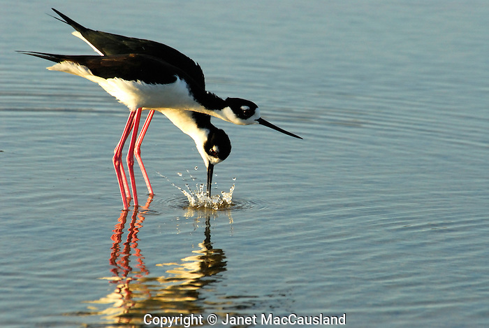 A male Black Necked Stilt demonstrating the foreplay behavior of splashing the water creating a circle of droplets on one side of the female, then the other, before she tilts her body downward as an invitation to mate.